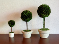 BOX WOOD TOPIARY / BALL[L]